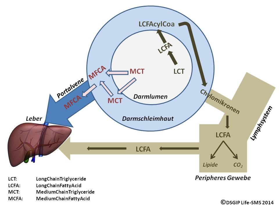 MCTs im Fettstoffwechsel