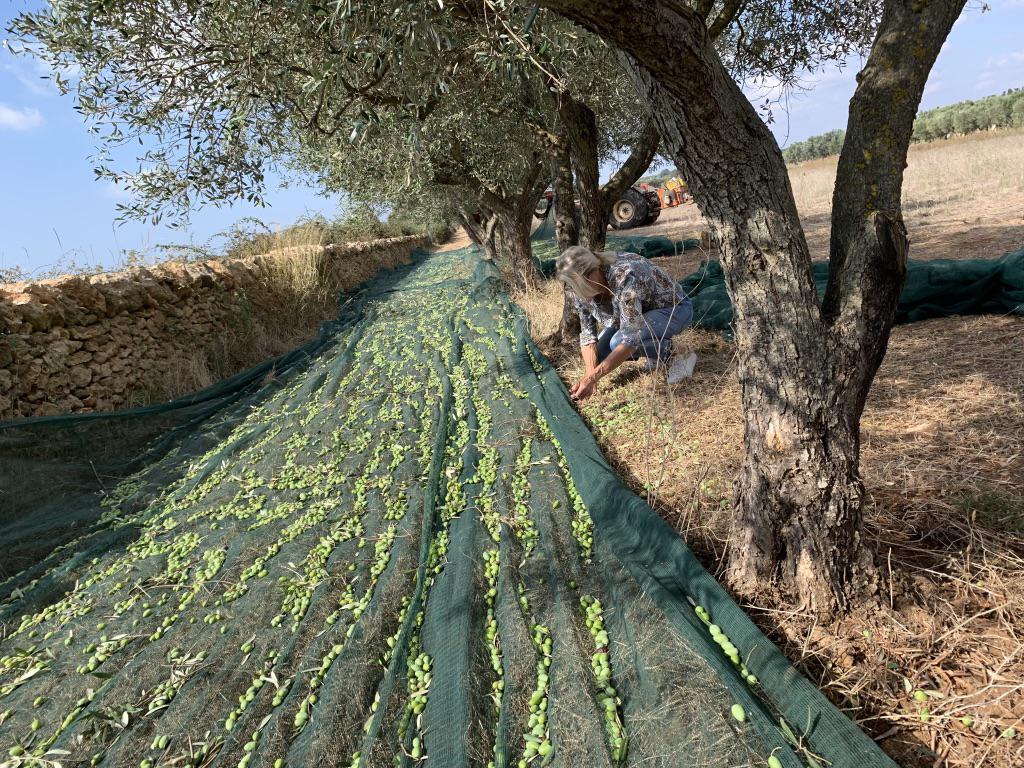 Foto: Olivenernte für prodotti-amano Olivenoel