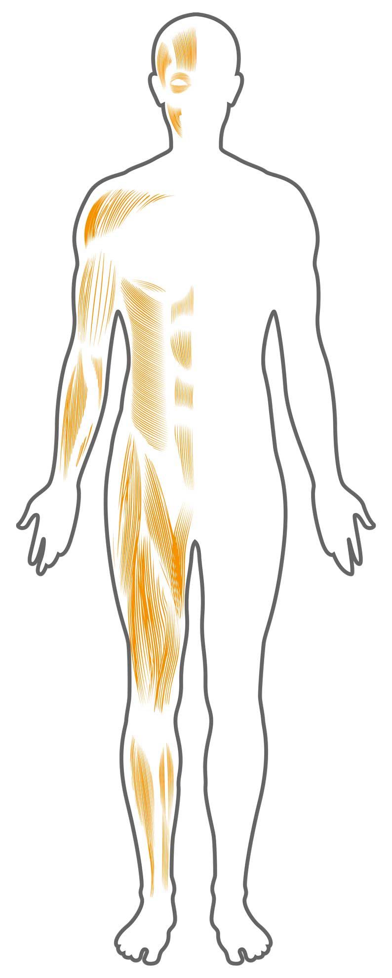 """Grafik des AMM-Partners """"BIA Systems"""" zu menschlicher Muskulatur"""