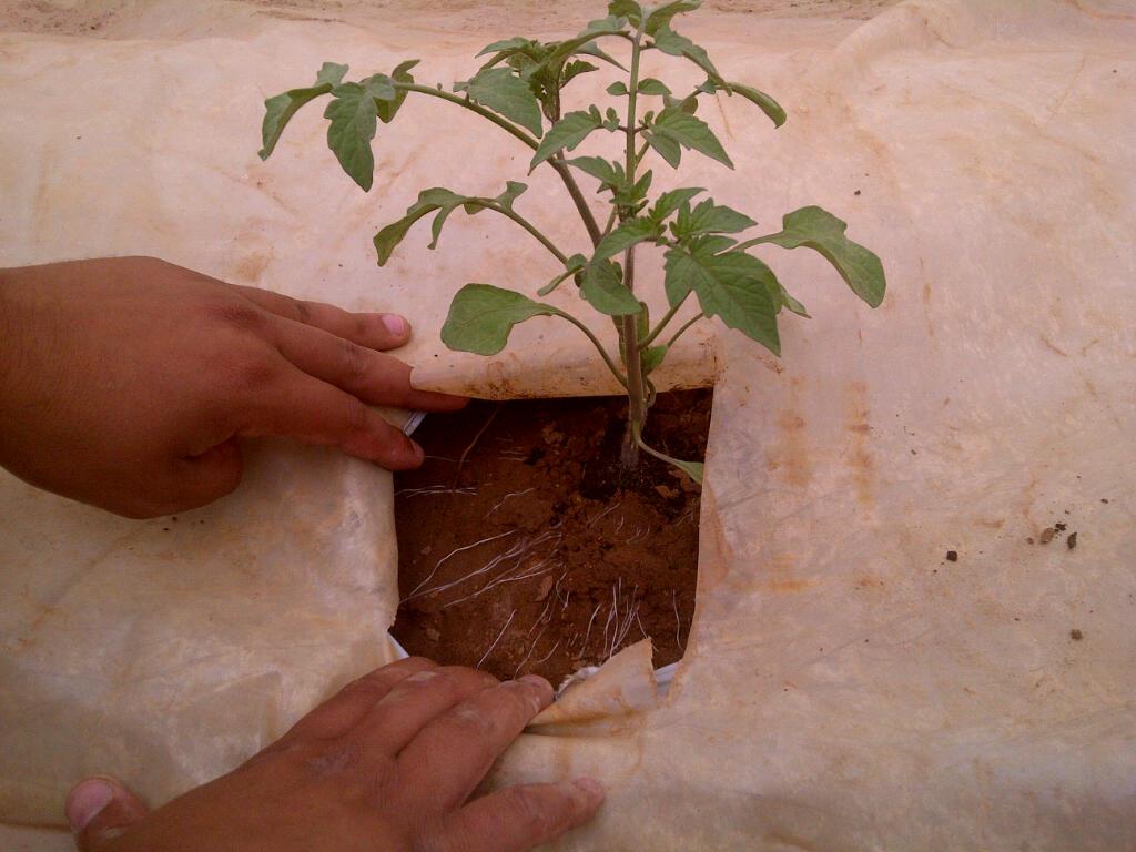 Foto: Wurzelbildung an Tomatenpflanzen ohne chemische Wurzelstimulatoren, dafür mit kolloidalem Silber von AMM-Netzwerkpartner B+H Solutions GmbH