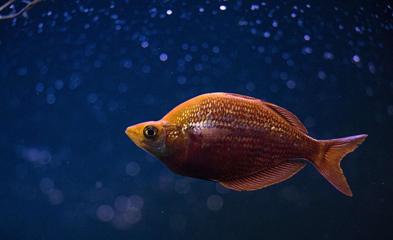 Ein Fisch im Wasser, der sich um zu wenig Omega-3 nicht sorgen muss.